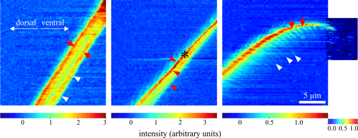 The scattering of the X-ray beams allows conclusions to be drawn about the chitin distribution in the adhesive hairs. The red colour indicates their density up to the tip.  [© Schaber et al. (2019) J. R. Soc. Interface,] http://creativecommons.org/licenses/by/4.0/